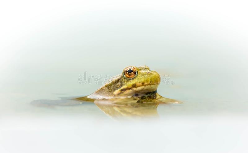 Frog in shallow pool of water royalty free stock photos