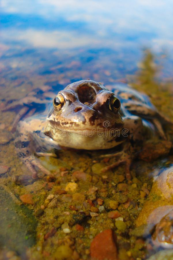 Frog in water.Macro. The frog sits in the water. From the water visible head. The frog has an unusual head shape.Macro stock photo