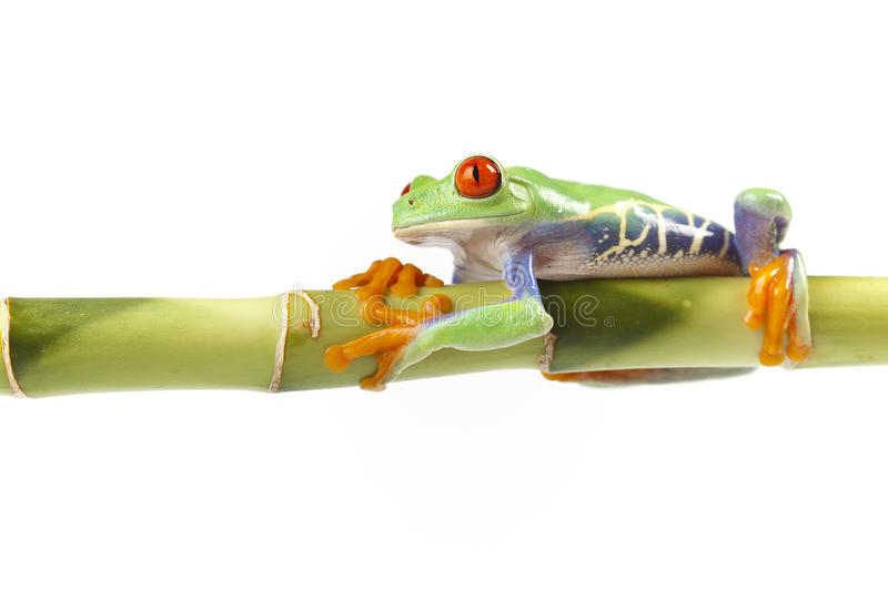 Frog sitting on bamboo. Red eyed tree frog sitting on green bamboo stock photo