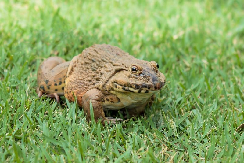 Frog sitting on the green grass. Closeup to Frog sitting on the green grass stock images