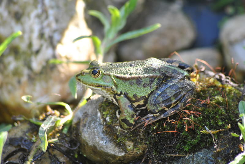 Frog sitting on stone stock photos