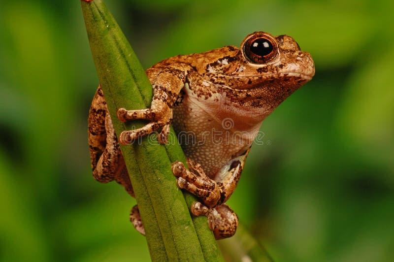Download Frog on stalk stock image. Image of colour, frog, critter - 18115467