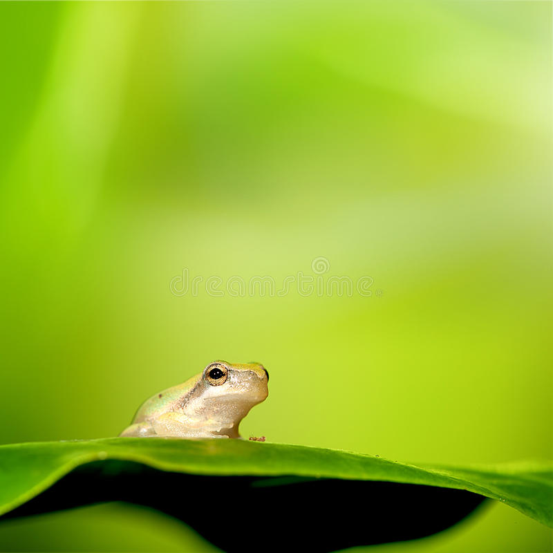 Frog stand on the green leaf. With nice green background color stock photo