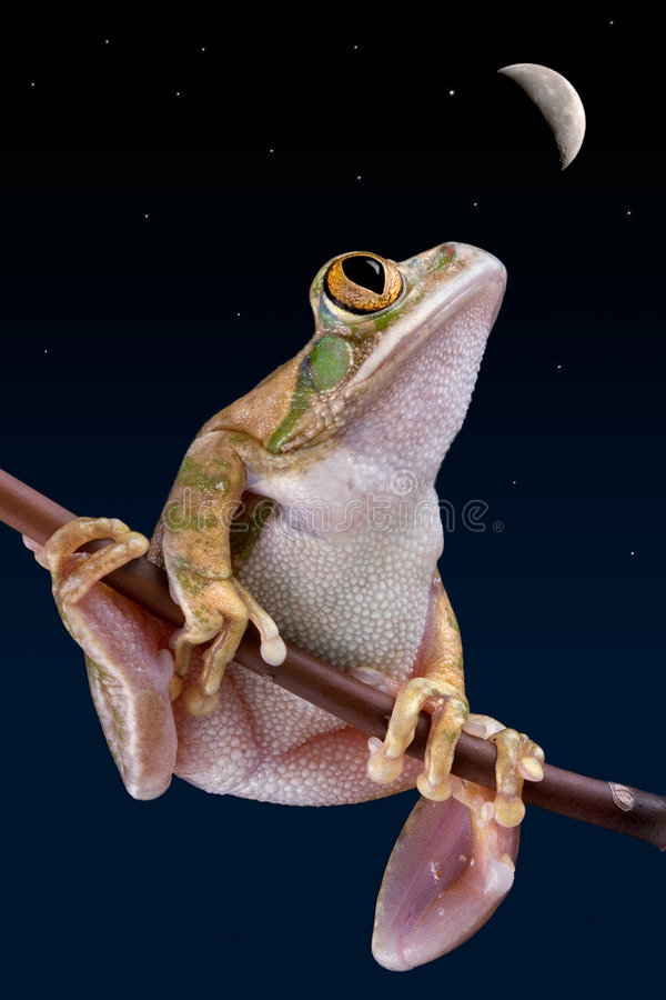 Download Frog staring at moon stock photo. Image of tree, looking - 6636626