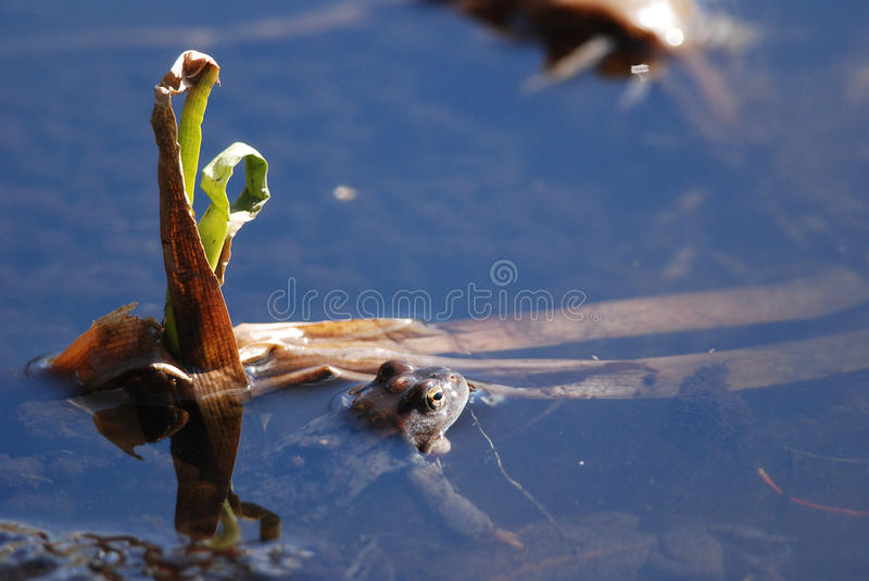Frog in the pond. Frog staring in the pond royalty free stock photo
