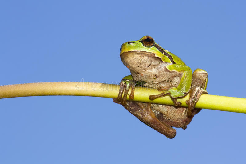 Download Frog on a stem stock photo. Image of nature, close, wildlife - 19114982
