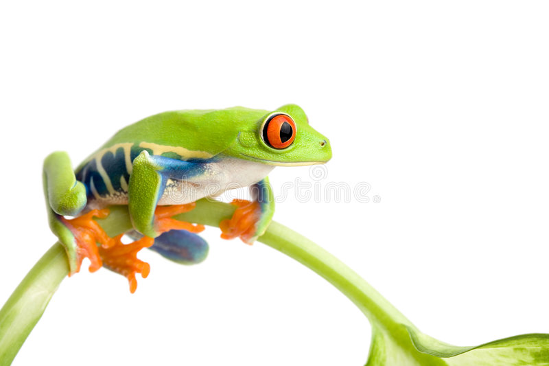 Frog on stem isolated. Frog sitting on a stem isolated on white, red-eyed tree frog (Agalychnis callidryas royalty free stock images