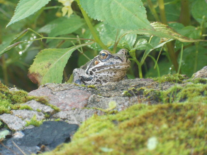 Frog and stone royalty free stock photos