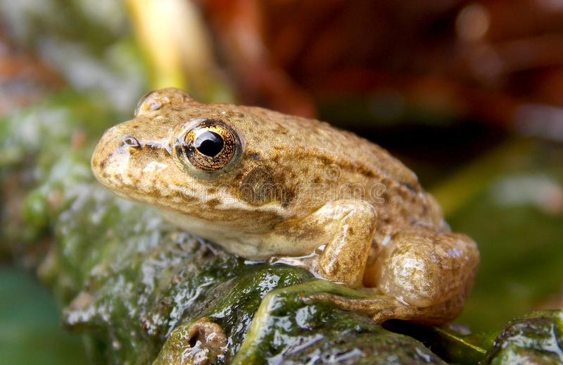 Frog. On the stone in the pond stock images