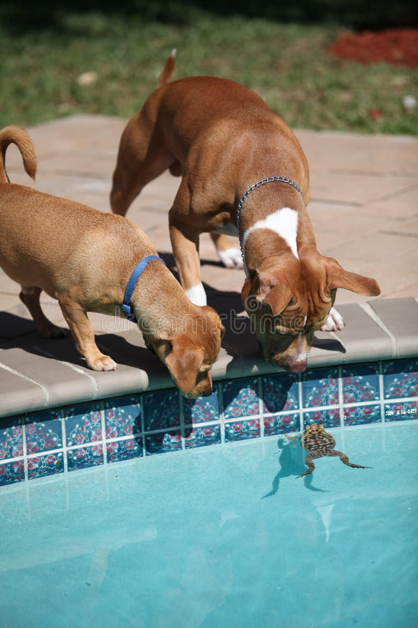 Frog stuck in the pool. Two dogs looking into a pool where a frog has fallen in stock images