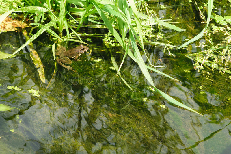 Frog in swamp. Or in a small river royalty free stock photography