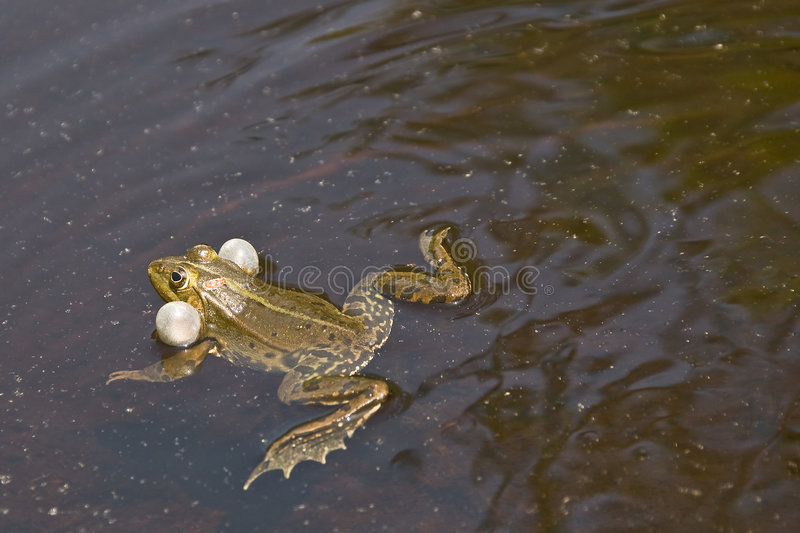 Download Frog swimming stock photo. Image of inflation, balloon - 5181826