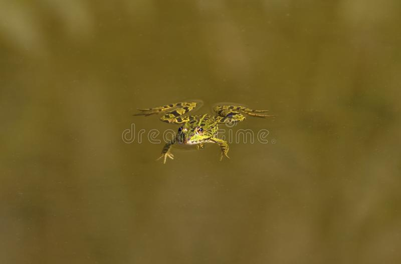 Frog swimming alone. In the quiet pond royalty free stock images
