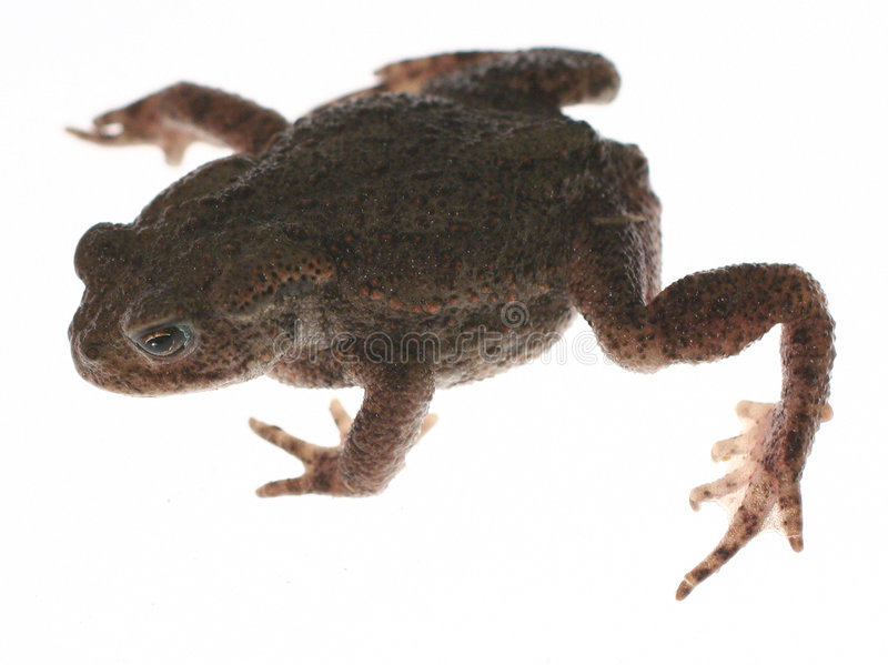 Frog toad. Frog or toad crawling isolated on white, metaphor for leaping or jumping forward in business or finding prince charming royalty free stock photography