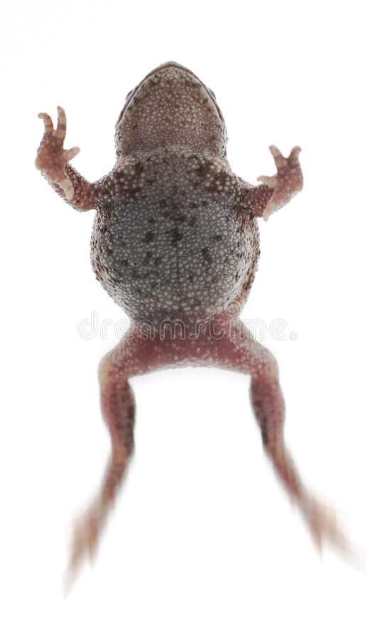 Frog toad. Frog or toad jumping isolated on white, metaphor for leaping or jumping forward in business or leap frogging royalty free stock photo