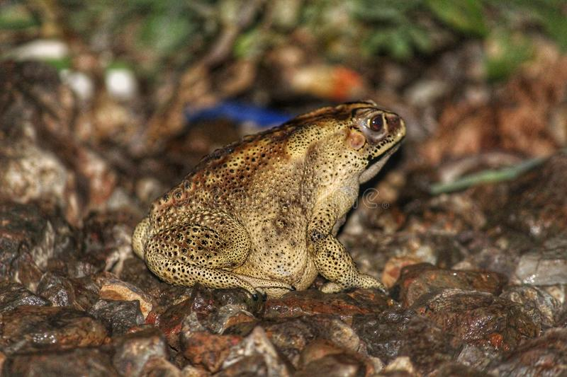 Frog. Or a Toad found jumping on road royalty free stock photography