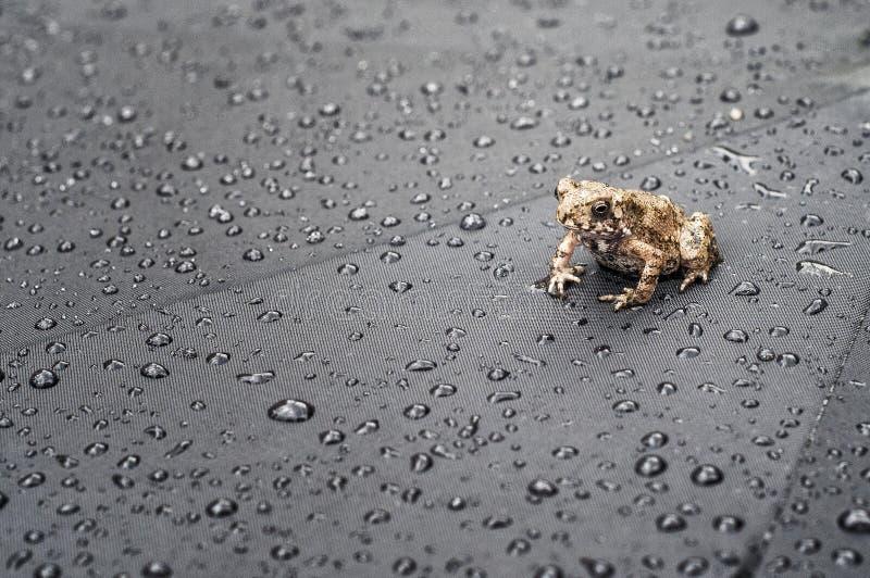 Frog on Umbrella royalty free stock image