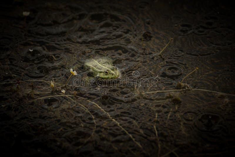 Frog under rain royalty free stock photography