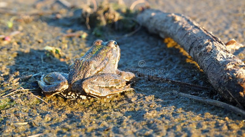 Frog. From unusual foreshortening in decline beams royalty free stock images