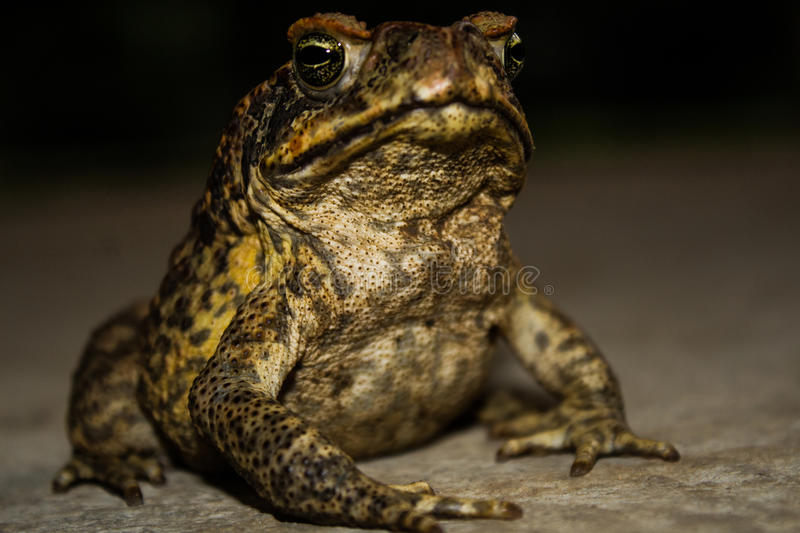 The frog. The use of the common names `frog` and `toad` has no taxonomic justification stock photos