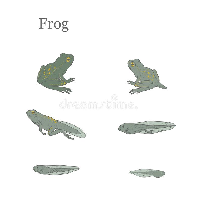 Frog vector illustration. Life cycle of a frog stock illustration