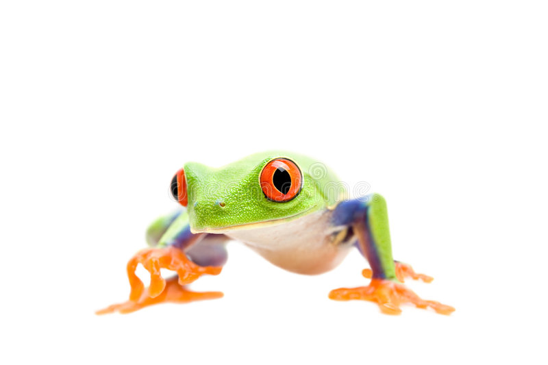 Frog walking isolated on white. Frog walking closeup isolated on white - a red-eyed tree frog (Agalychnis callidryas stock photography