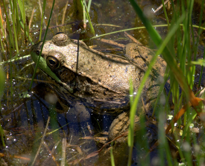 Frog in Water royalty free stock image