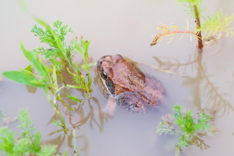 Download Frog in water stock image. Image of pond, outside, lake - 14856675