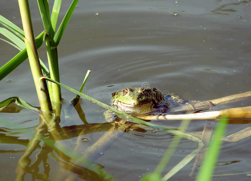 Frog in the water royalty free stock photography