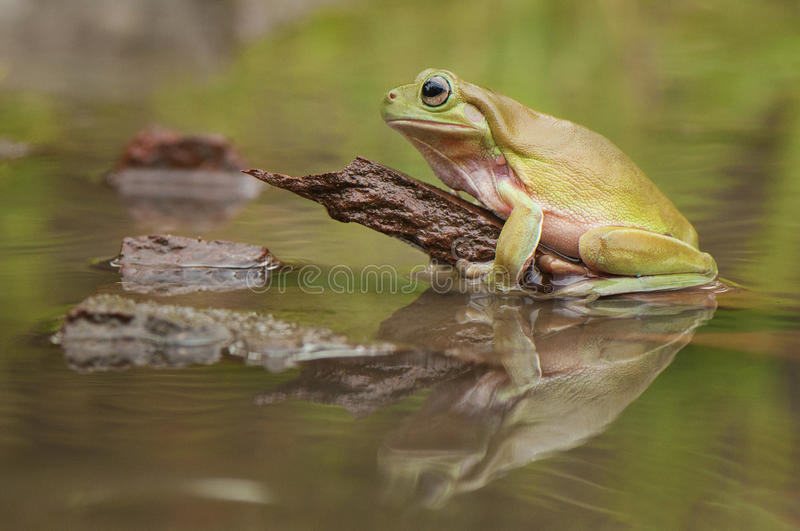 Frog On The WAter royalty free stock photo