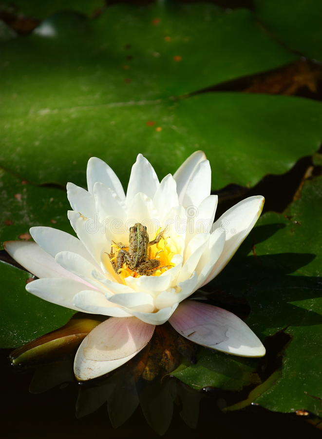 Frog in water lily. Blossom royalty free stock photos