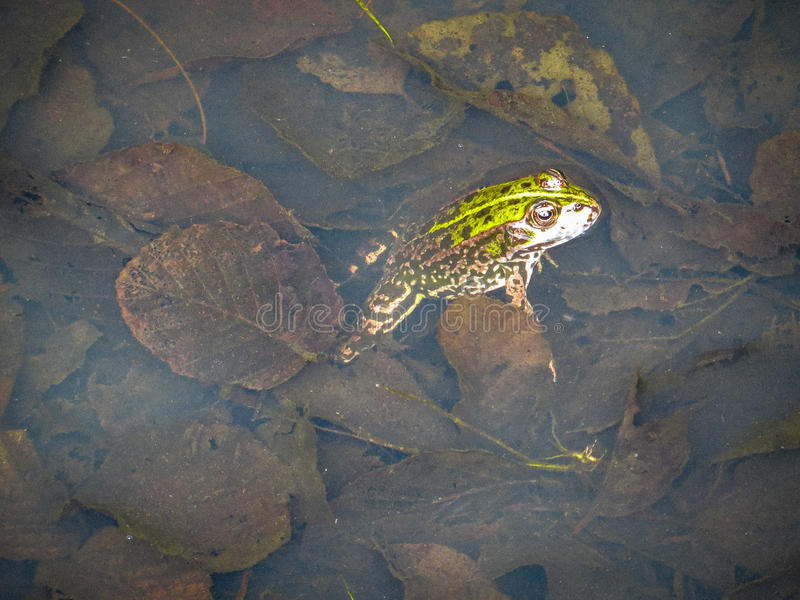 Frog in water stock photos