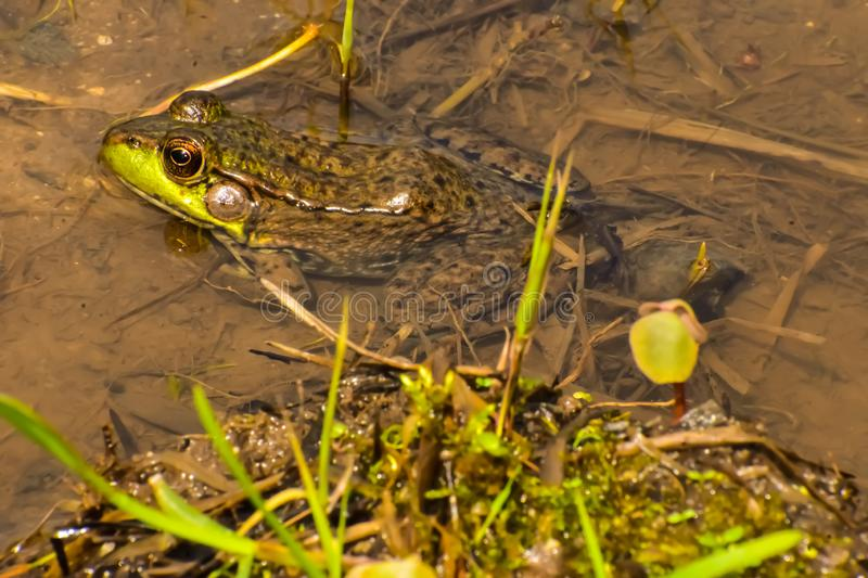 A Frog In Water royalty free stock image