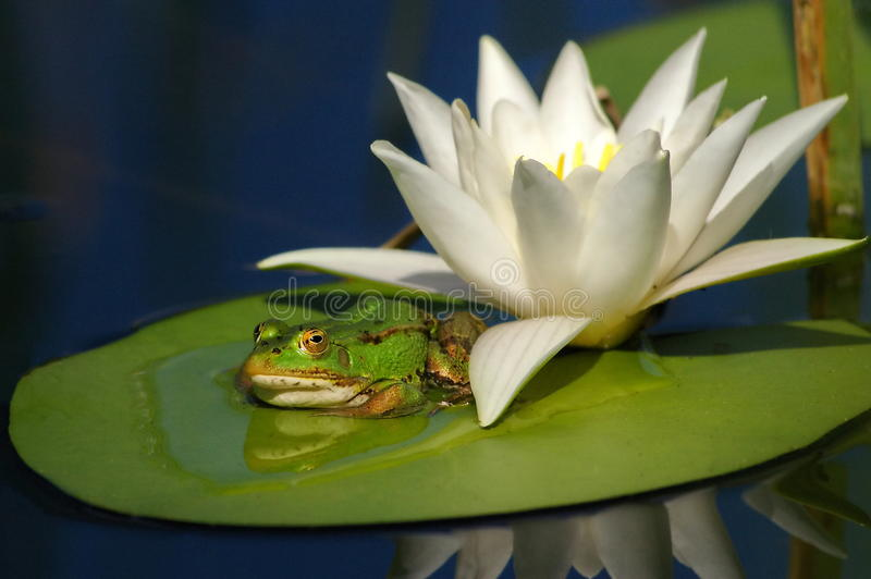 Frog and waterlily. The habitat of frogs extends almost worldwide, but they do not occur in Antarctica and are not present on many oceanic islands. The greatest royalty free stock images