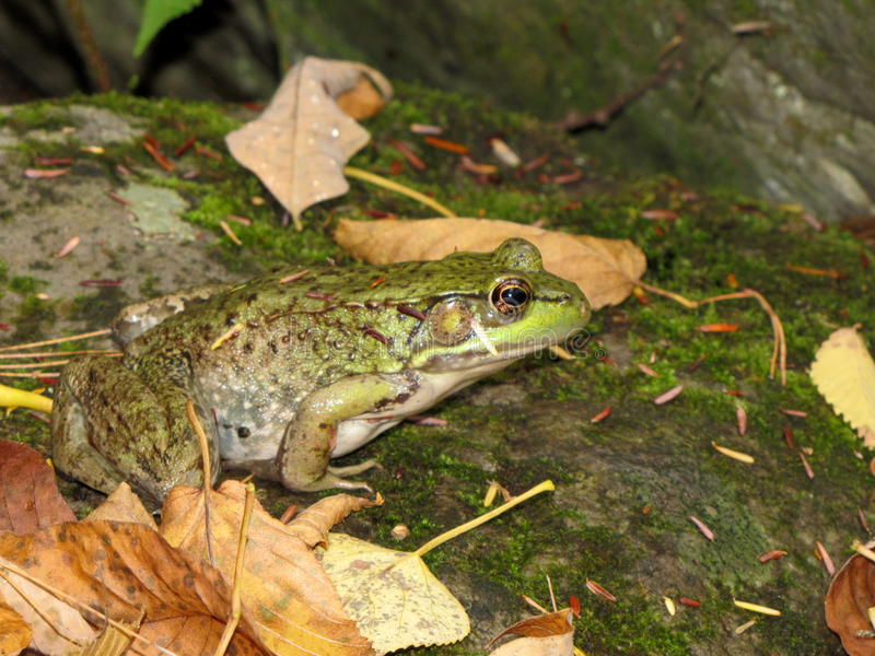 Frog #2. White green brown frog amphibian sitting on a rock outside surrounded by leaves royalty free stock photos