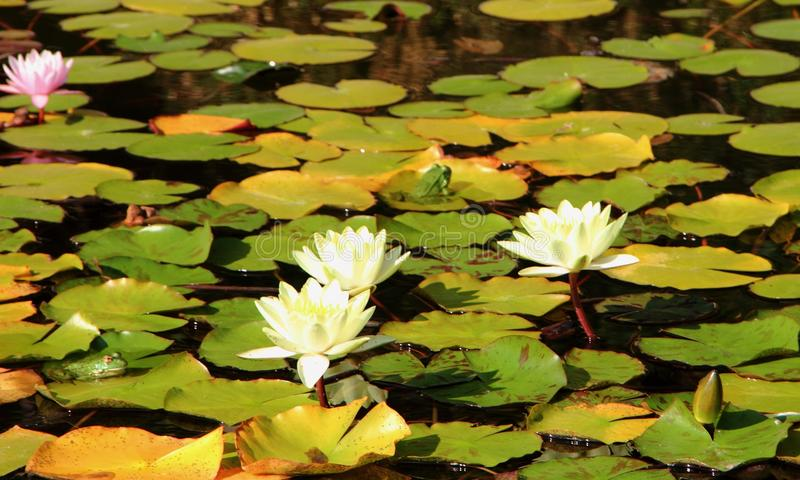 Frog on white and pink water lilies in Nikitinsky Botanical Garden. In Crimea, Russia stock image