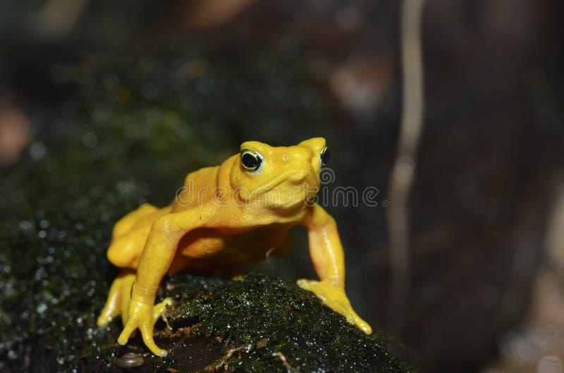 frog2 złoty panamanian obraz royalty free