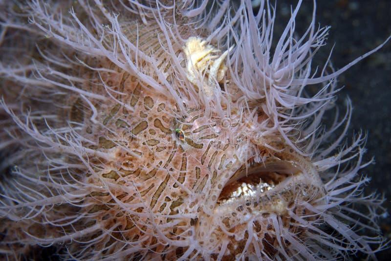 frogfish ριγωτός στοκ φωτογραφίες με δικαίωμα ελεύθερης χρήσης