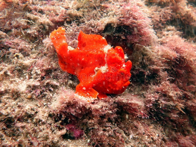 frogfish χρωματισμένος στοκ εικόνα με δικαίωμα ελεύθερης χρήσης
