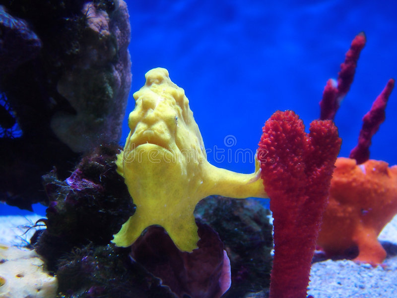 Frogfish stock foto's