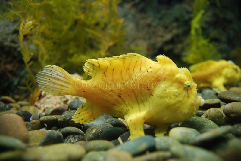 frogfish royaltyfria foton