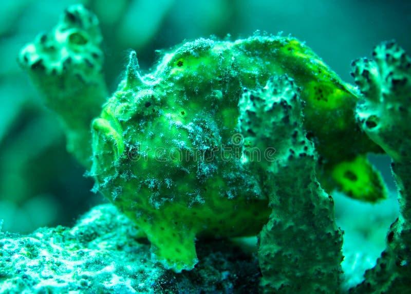 Frogfish de Bonaire fotos de stock royalty free