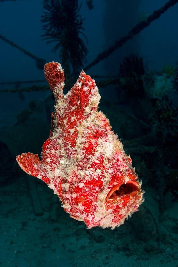 frogfish dopłynięcie gigantyczny pomarańczowy zdjęcia stock