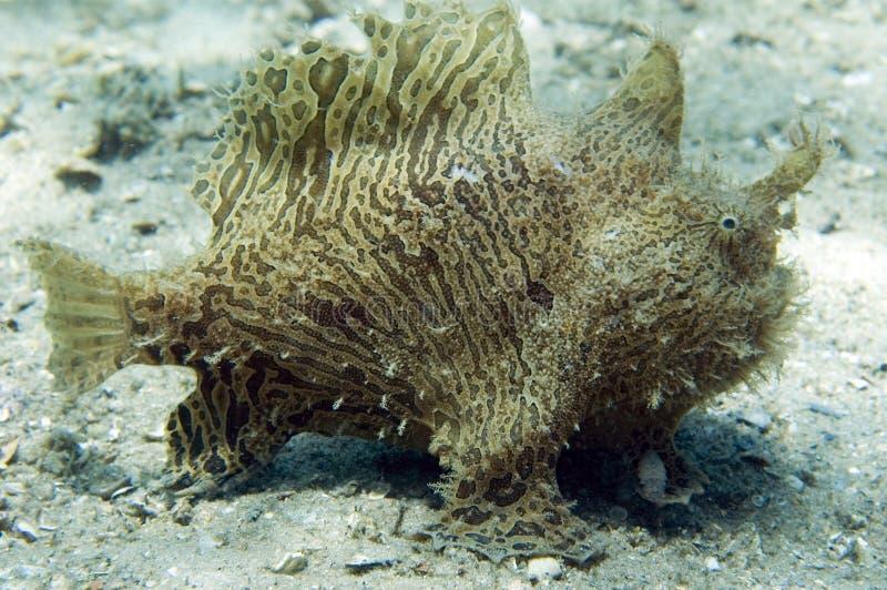 Frogfish estriado imagenes de archivo
