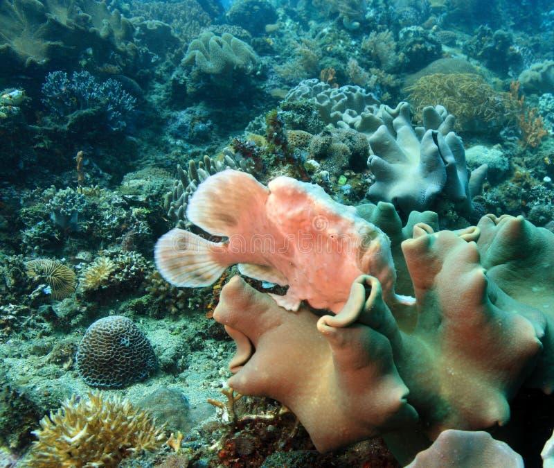 Frogfish gigante imagem de stock