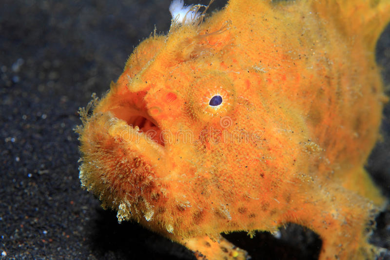 Frogfish stock photography