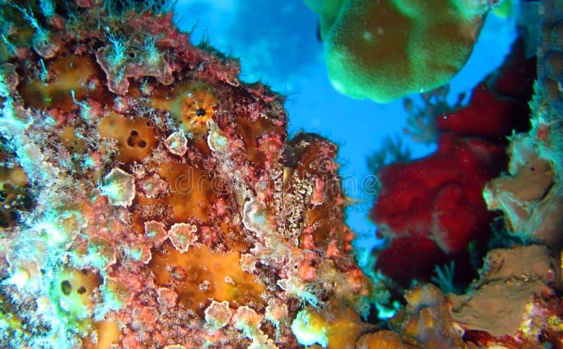 Frogfish ou diabo-marinho pintado, pictus de Antennarius imagens de stock royalty free