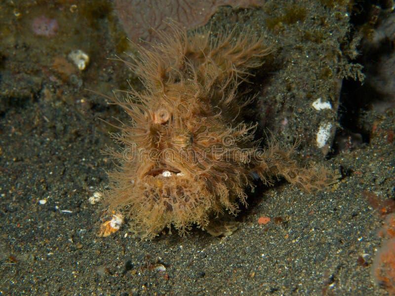 Frogfish peloso fotografie stock libere da diritti