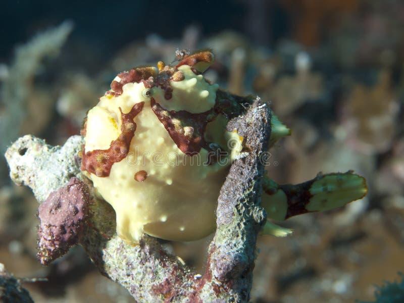 Frogfish pintado foto de archivo