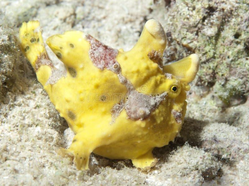 Frogfish pintado imágenes de archivo libres de regalías
